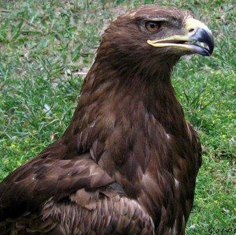 Как орёл с достоинством